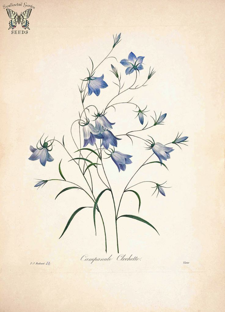 https://farm8.staticflickr.com/7472/15828106205_1ac0617d75_h.jpg Rampion Bellflower, Creeping Bellflower. Campanula rapunculoides. Choix des plus belles fleurs -et des plus beaux fruits par P.J. Redouté. (1833)