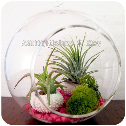 Couples Tillandsia Globe  Hanging Glass Air Plant by AGiftofNature, $20.00