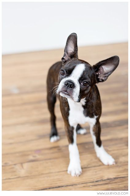 Boston terrier puppy head tilt