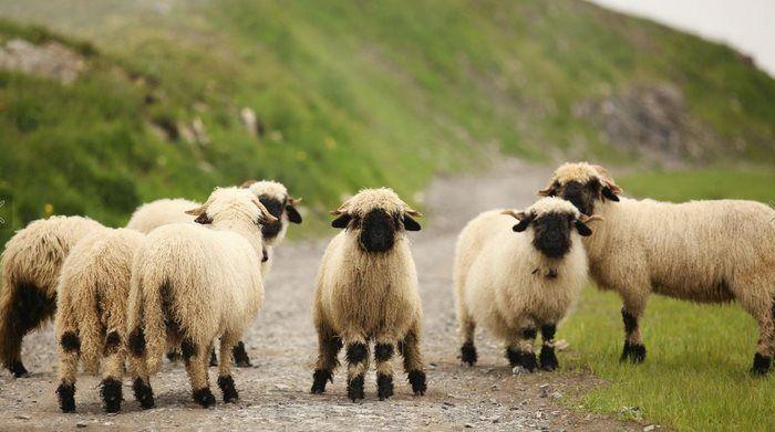 Les moutons à nez noir du Valais magnifiques ou effrayants  2Tout2Rien