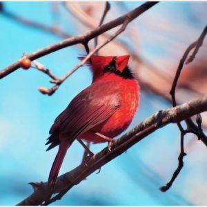 Red Cardinal Bird Wallpaper | red cardinal bird wallpaper