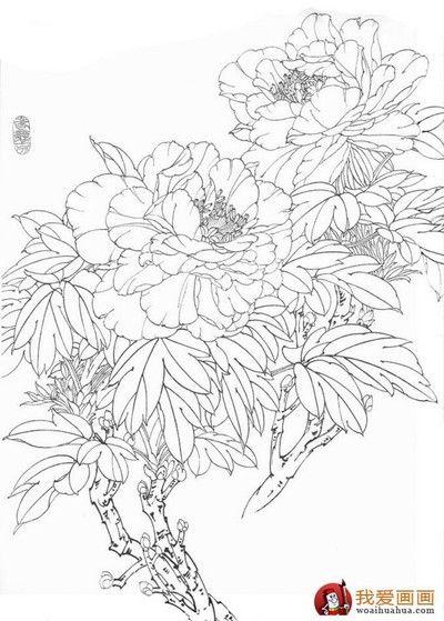 Pivoine arbustive, dessin