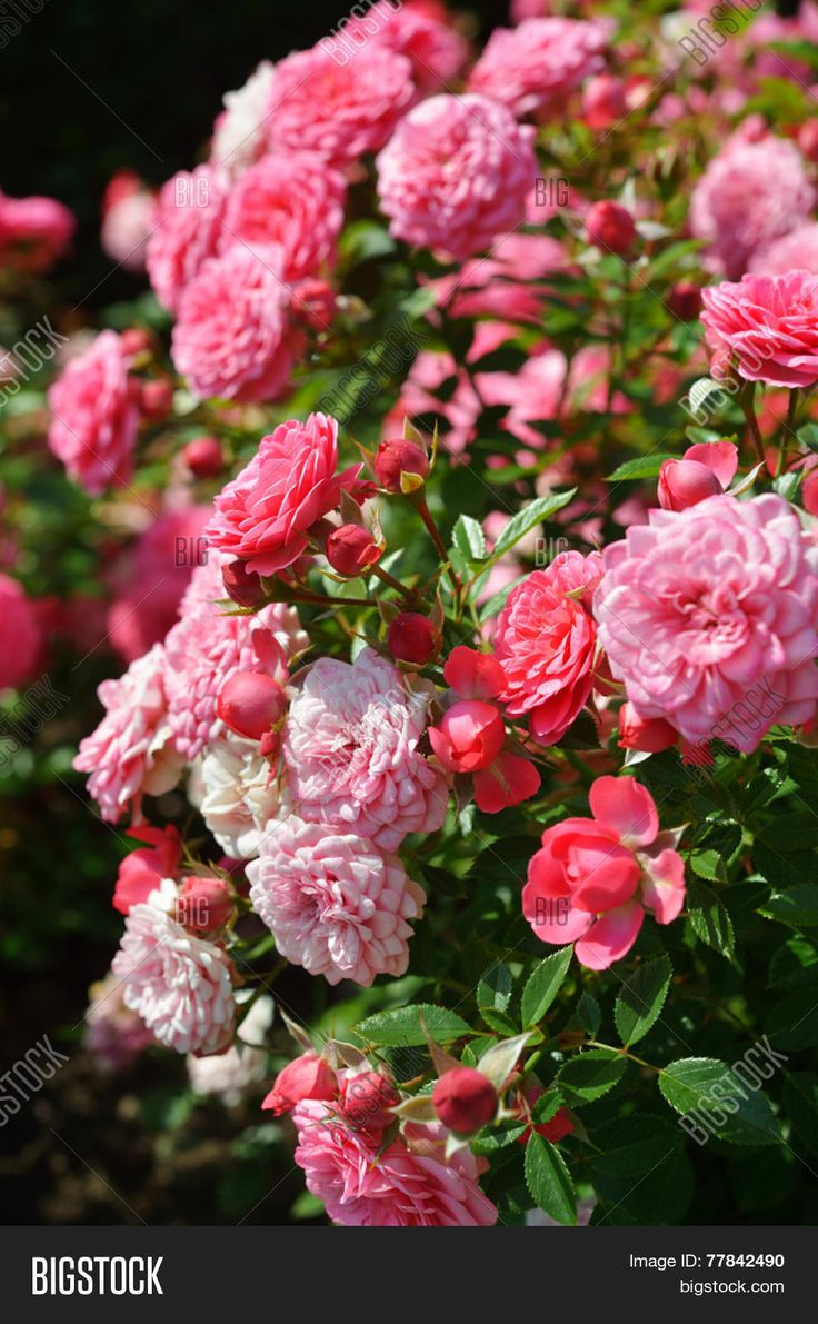 Bush of pink roses in a garden