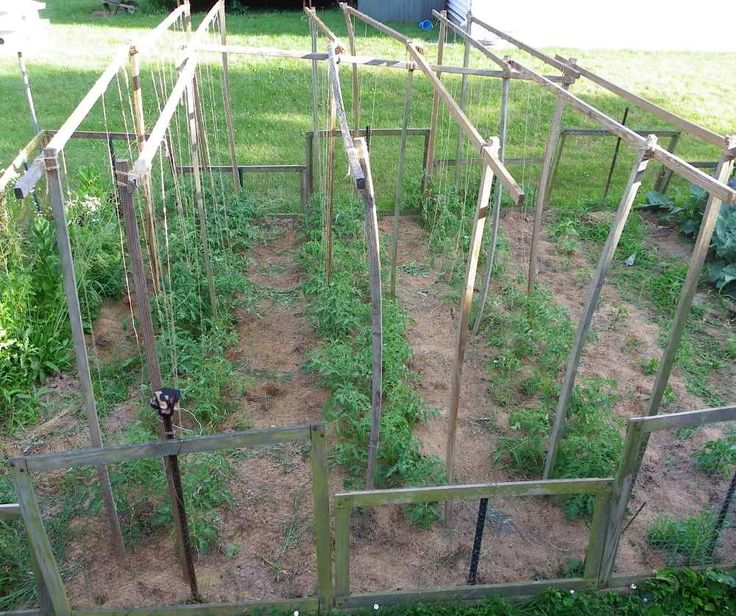 Growing Tomato Plants up a Hanging String Tomato Trellis
