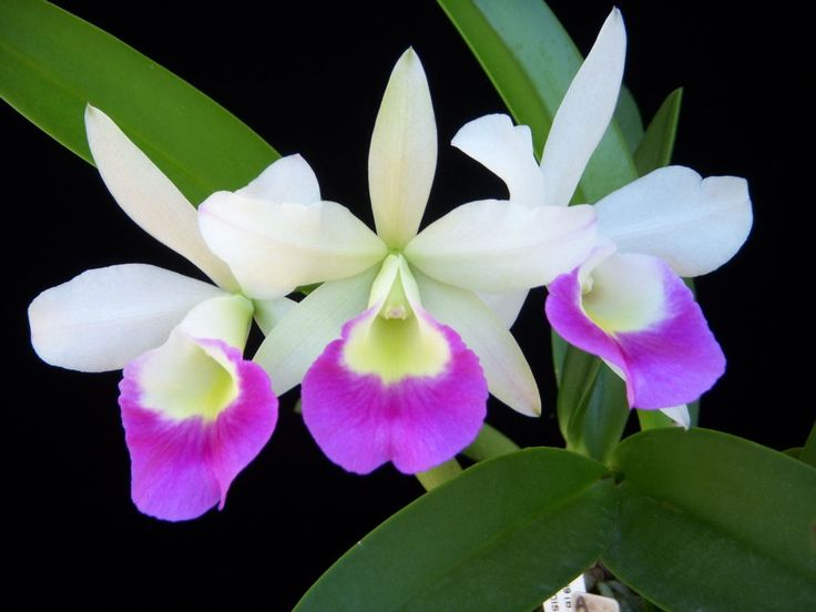 9 best orchids i grow images on pinterest lilies orchid for Spikes tattoo maui