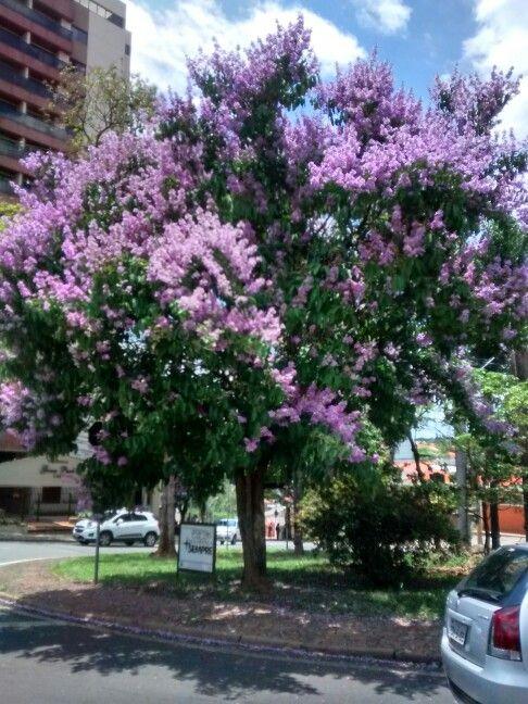 Resedá gigante lilás