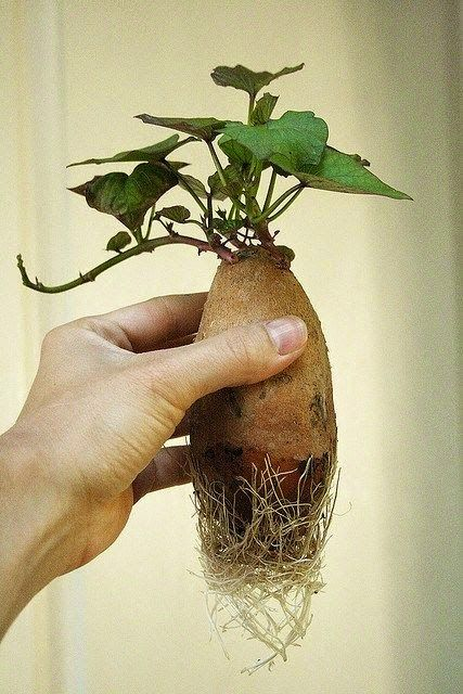 How to Root a Sweet Potato for Planting