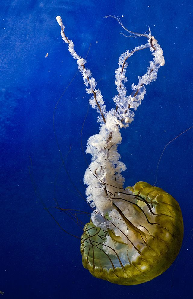 15 Best Phylum Cnidaria Images On Pinterest Jellyfish Under The
