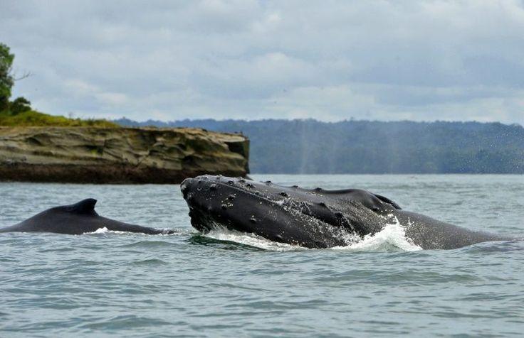 Cientistas comunicam a existência de uma técnica de sobrevivência relacionada às baleias-jubarte desconhecida até então