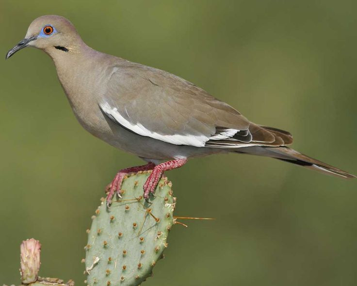 White Winged Dove can be found at Pancho Villa State Park, which is part of the SW NM Birding Trail