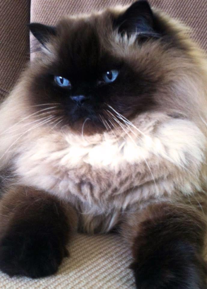 Himalayan cats eyes