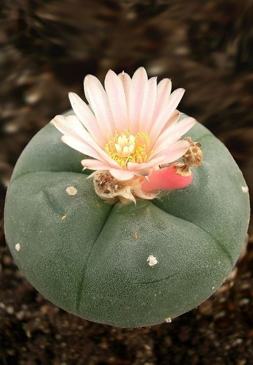 Peyote - plant medicine consumed by Natives of Mexico and southwestern U.S.