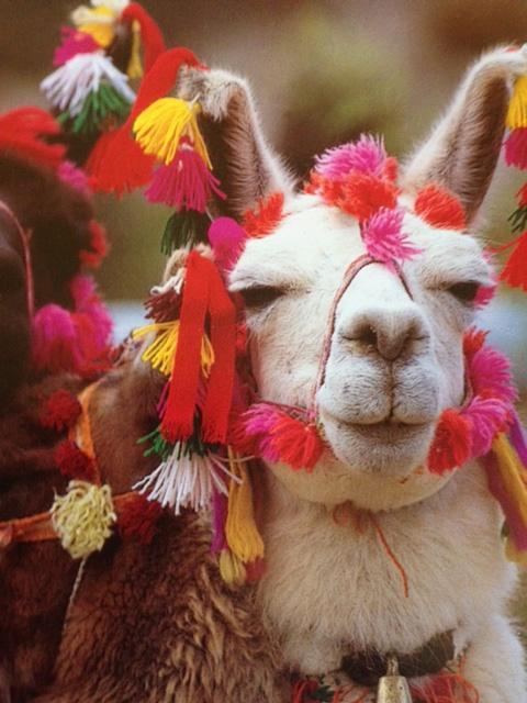 Decorated Alpaca   Peru   Pinterest   Alpacas