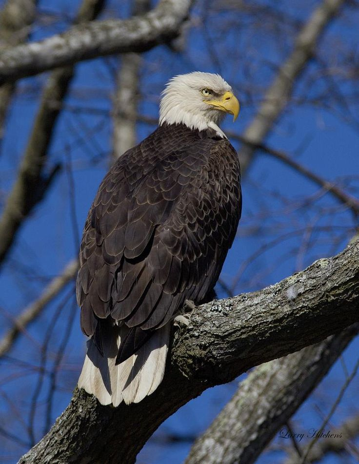 Bald Eagle Vienna by larry.hitchens