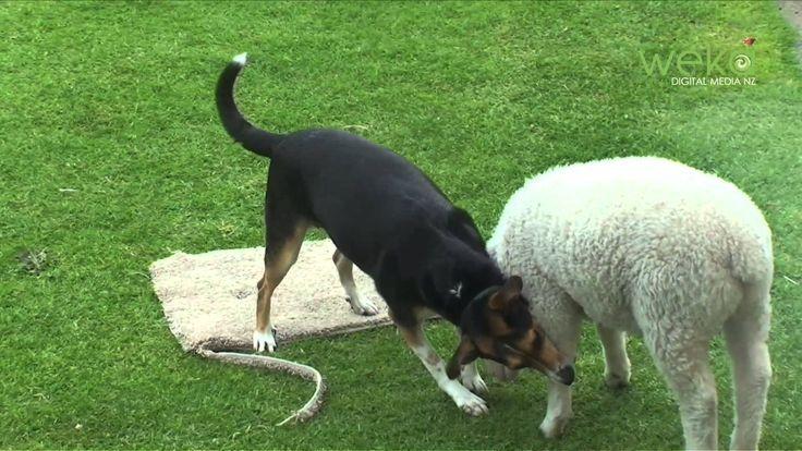 """Lamb vs Dog in """"Get off my blanket"""""""