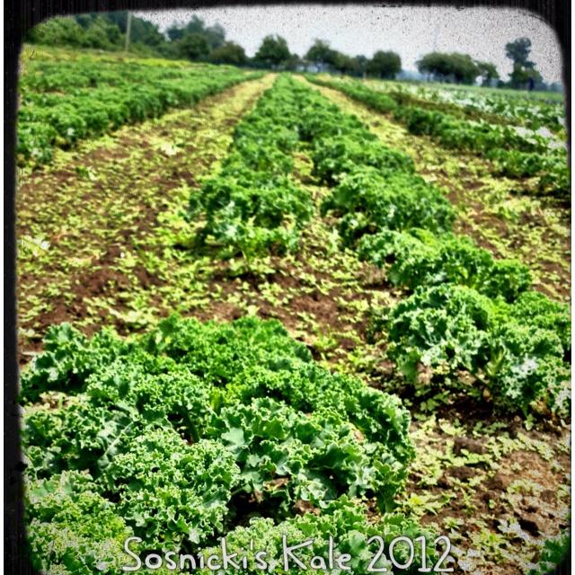 Sosnicki's Kale: Organizations Farms, Sosnicki Kale