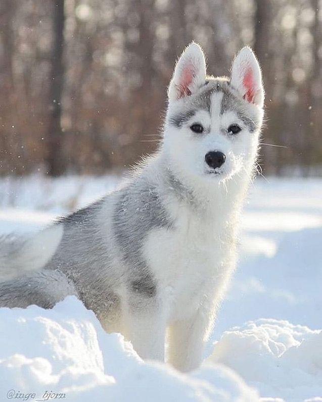 Pin By Huskygirl On Huskies Siberian Husky Husky Puppy Husky