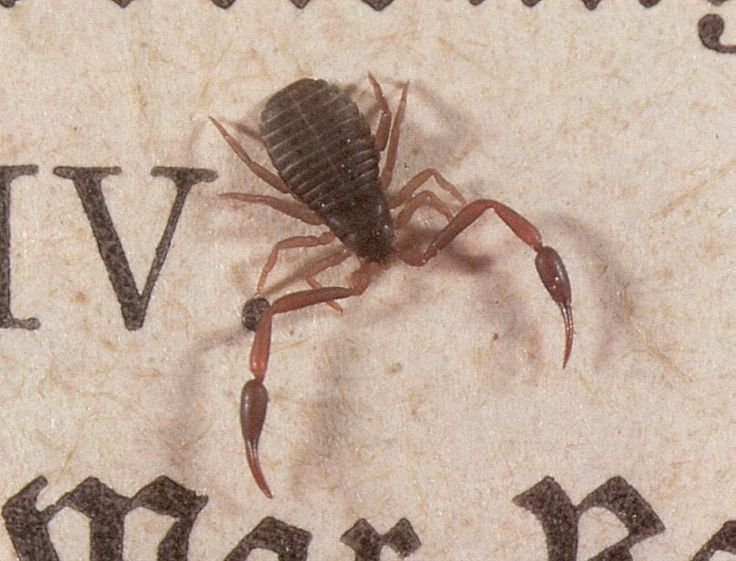Book scorpions patrol piles of old books eating up dust mites and booklice. (Image: Fice) (via @qikipedia) #bookfacts #ew