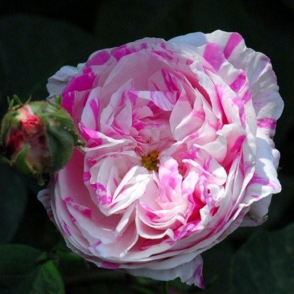 'Centifolia Variegata' est l'une des premières variétés de fleurs striées :  fleurs doubles, blanches striées de rose clair, très parfumées.  Rosier arbustif de taille moyenne (1,20 m). Centifolia. Obtenteur inconnu, 1839.