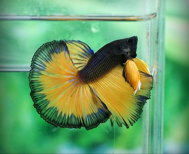24 best show betta images on pinterest beautiful fish for Show betta fish