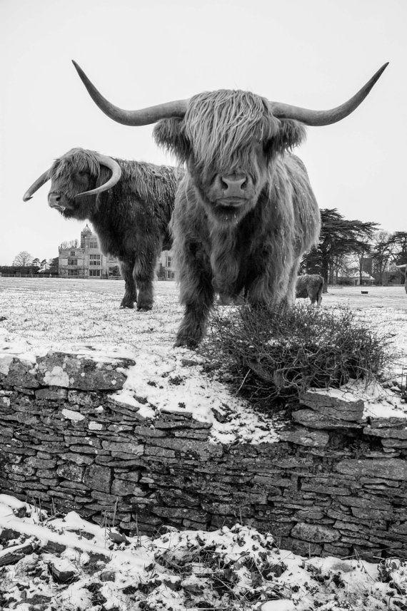 Highland Cattle 15  Fine Art Photography  Highland by shortwork, $16.00