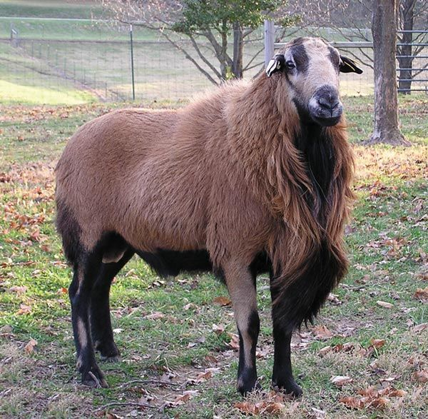 Barbados Blackbelly   Size: small Appearance: brown, tan or red hair with black underparts and black stripes along either side of muzzle Fleece: hair Breeding: out-of-season; can lamb as often as every 6.5 months Lambing rate: 200 percent Behavior: active and alert, often nervous; highly protective ; good flocking instinct Use: meat Origin: Barbados from African stock Environment: tolerant (also to poor grazing) ALBC rating: recovering  An interesting-looking hair sheep. The lambs grow…