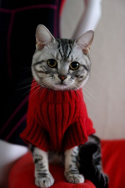 PetsLady's Pick: Cute Sweater Cat Of The Day ... see more at PetsLady.com ... The FUN site for Animal Lovers