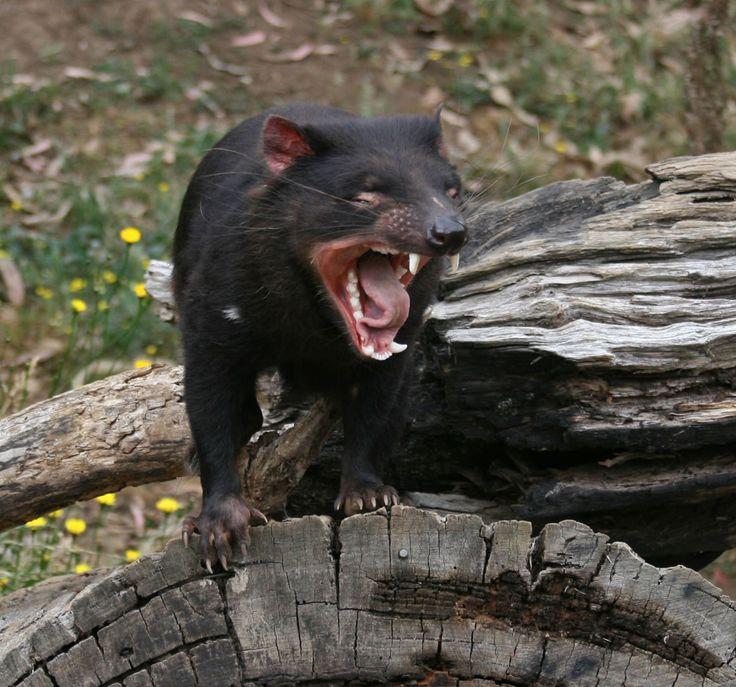Le diable de Tasmanie,féroce à ce que l'ont dit ..