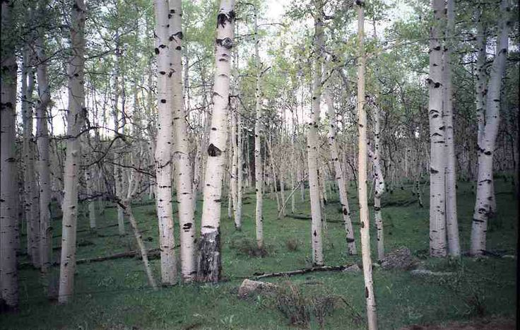 17 Best Images About White Birch Amp Aspen On Pinterest