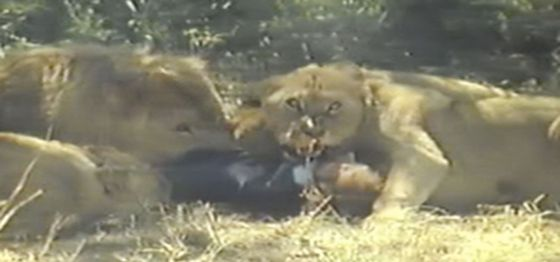 Here you will find the video of the man mauled by lions, Pit Dernitz. Is this video real? It allegedly happened in an Angola natural park named Wallesee.