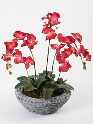 Potted Phalaenopsis Orchid Display