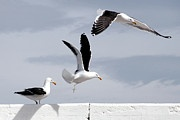 Gulls By The Sea - Stage Flight by Andrew Hewett