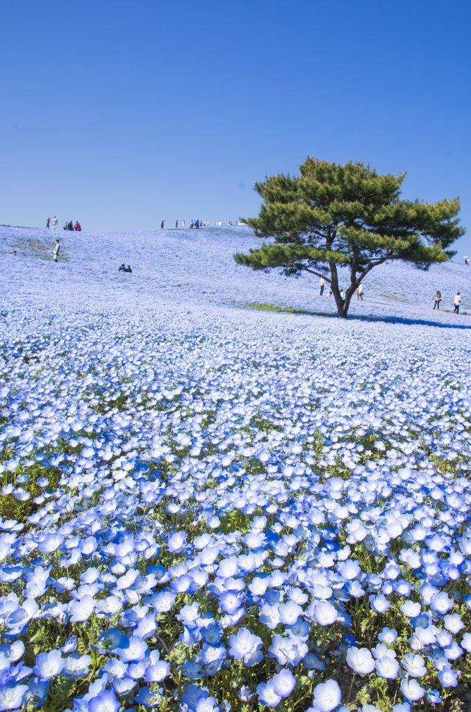 Hitachi Seaside Park, Japan ひたち海浜公園. (KO) Beautiful blooms as far as the eye can see! Absolutely beautiful.