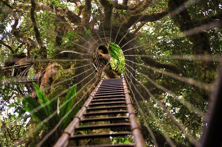 The treetops walk with a tree climb, Queensland's Gold Coast Hinterland.