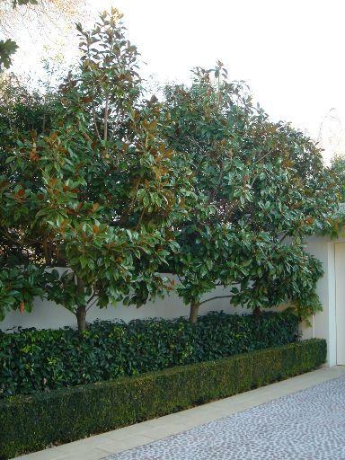 magnolia little gem - Google Search