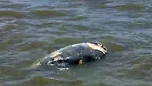 More and more sick fish are reported further a field from no fish areas created around chemical weapons dumping sites