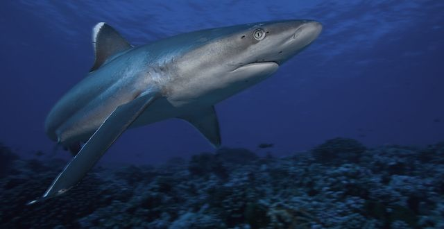 Tens of millions of sharks are killed each year simply to supply the demand for shark fin soup. Survival of sharks affects all marine species and our ocean ecosystems—we simply cannot allow these iconic species to be wiped out.