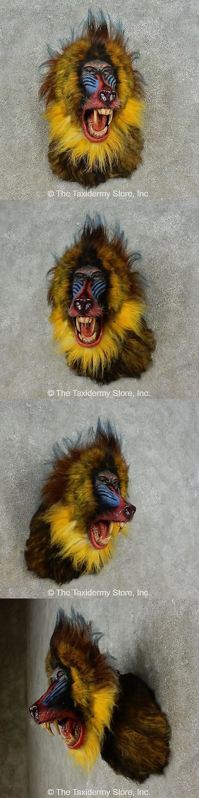 Large Animals 177908: #16604 E+ | Reproduction Mandrill Baboon Taxidermy Shoulder Mount For Sale -> BUY IT NOW ONLY: $1530.8 on eBay!