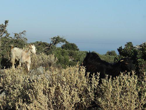 Rethymno, Crete, Atsipopoulo, goats