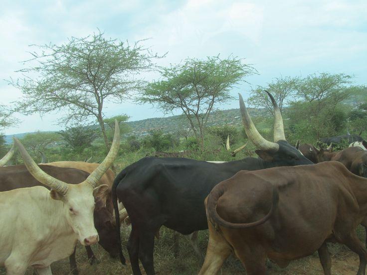 A herd of African longhorns in Kageyo Africa