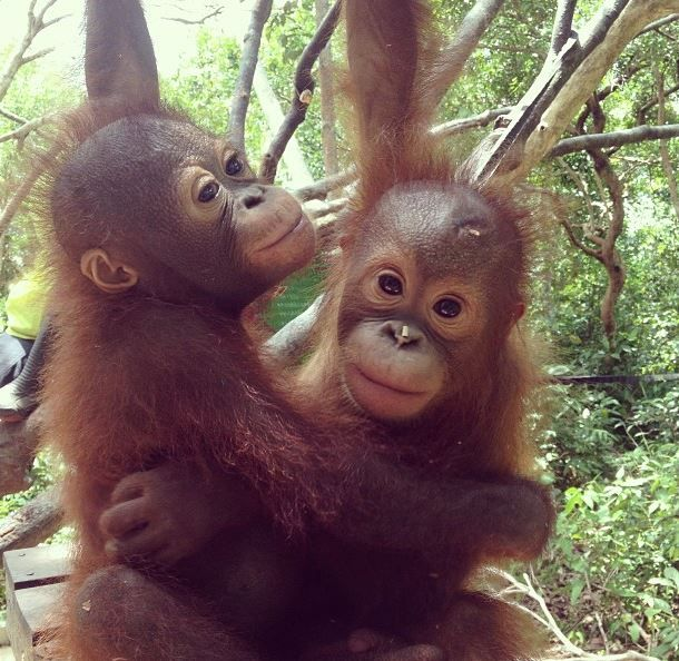 Rocky & Rickina are the very best of friends at our Orangutan Emergency Centre in Ketapang, Borneo -- The Orangutan Project