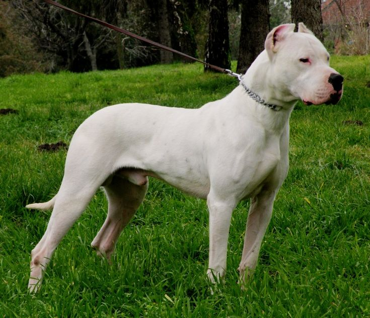 Cool Dogo Chubby Adorable Dog - f1600c15868df181970cb688b2a515e2--dogo-argentina-dogo-argentino-dog  Perfect Image Reference_155028  .jpg