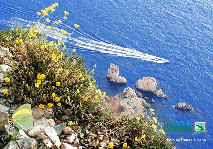 Fiori di ginestra gialli colorano lo sfondo azzurro intenso del mare, dipinto dalla scia di una barca in corsa. #conero #rivieradelconero #mare #vacanze #tourism  #sirolo Foto: Raffaele Pepa