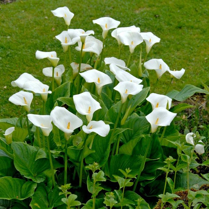 White Florist Calla Lily In 2020 Lily Plants White Lily Flower Calla Lily