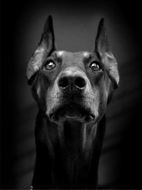 Sleek and beautiful. I'd love to have a Doberman once I'm past my apartment dwelling days.