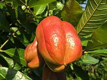 The ackee, also known as achee, ackee apple or akee (Blighia sapida) is a member of the Sapindaceae (soapberry family), as are the lychee and the longan. It is native to tropical West Africa