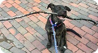 Boston, MA - Labrador Retriever. Meet Pepper Ann, a puppy for adoption. http://www.adoptapet.com/pet/17803992-boston-massachusetts-labrador-retriever
