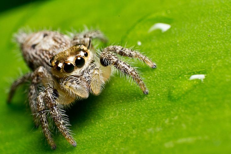 spider jump