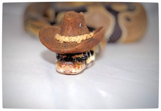 Vamers - Ermahgerd - Forget Snakes on a Plane, It Is All About Snakes Wearing Hats - Cowboy Hat Snake