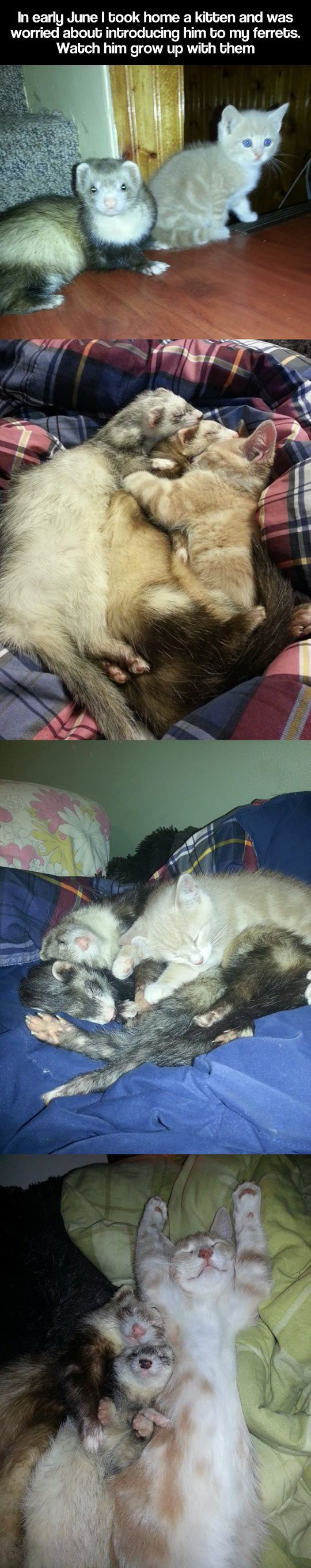 kitten grows up with ferrets *_* @Julianna Moreno okay we can get a kitty, a bunny, & a ferret!